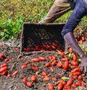 Extracomunitari sfruttati in agricoltura,