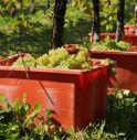 Strade sporche d'uva e trattori senza fanali: scoppia la polemica sulla vendemmia