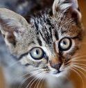 Gatti domestici e Covid, studio dimostra i rischi