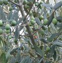 Clima impazzito, quest'anno niente olio: gli ulivi non hanno prodotto nulla