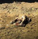 """Animali morti nelle fosse: """"Sono lì da oltre 10 giorni"""""""