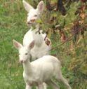 Conegliano, Bianchina ha avuto un cucciolo: è albino anche lui