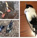 Uccelli e semi contaminati a Fanzolo