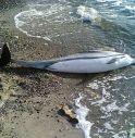 57 delfini morti nel Tirreno: è giallo