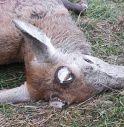 Lo strazio del cervo