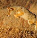 Coyote attacca bambino