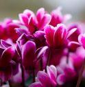 rubano i fiori