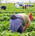 Cercasi 5 mila lavoratori per raccogliere fragole