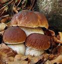 Piogge da record, 30mila tonnellate di funghi