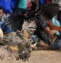 uomo ucciso a coltellate da un gallo