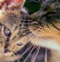 Gatti più sensibili al contagio