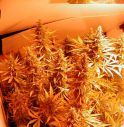 5 piante di marijuana in garage, arrestato