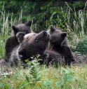 Morta durante la cattura l'orsa Daniza. Catturato uno dei cuccioli