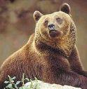 Coldiretti Vicenza: l'orso continua ad attaccare il bestiame