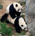 Lo zoo è vuoto? I panda fanno l'amore