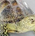 mamma tartaruga salvata