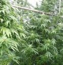 Due cuori e una serra (di marijuana)