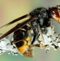 L'alieno asiatico che fa strage di api