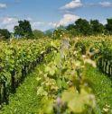 Coronavirus, produrre l'alcool disinfettante dal vino: ecco il piano salva-vigneti