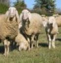 """L'agnello pasquale che """"bela"""" rumeno"""
