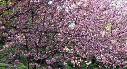 Ciliegi da fiore, farnie, aceri: a Treviso nasce un nuovo bosco