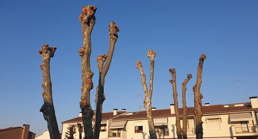 Alberi capitozzati a Castelfranco