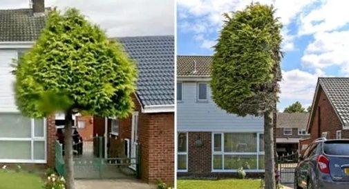 albero potato a metà