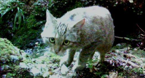 Cansiglio: immortalato un cucciolo di gatto selvatico e una seconda cucciolata di lupi