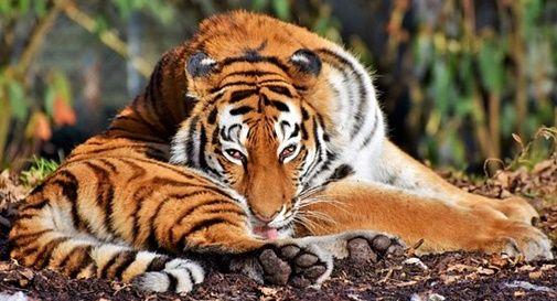 tigre indiana