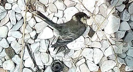 Gli uccelli sbattono sulle barriere di vetro della Pedemontana. Vengono dall'Africa per poi morire così