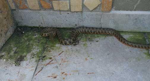 serpente cordignano