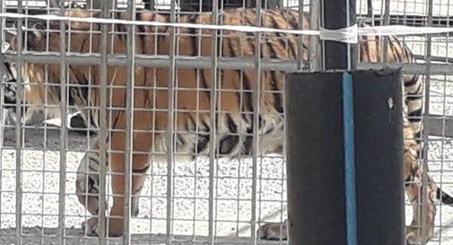 """""""No agli animali sfruttati"""": molti contestano l'arrivo del circo a Pieve di Soligo"""