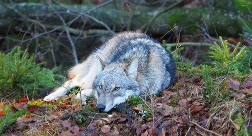 I lupi non si toccano, l'Europa parla chiaro: è e resta una specie protetta