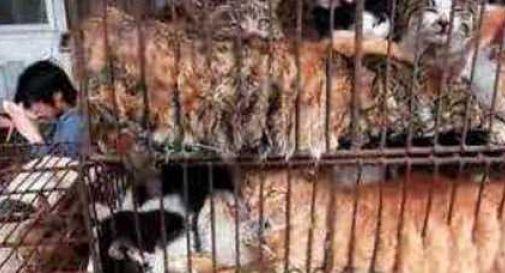 Sequestrato furgone con mille gatti destinati ai ristoranti