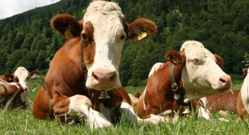 Vacche stressate dal caldo