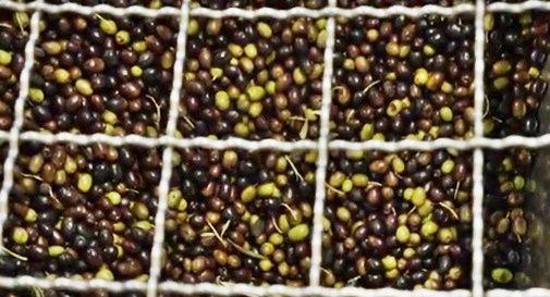 Spremuti oltre 9.300 quintali di olive