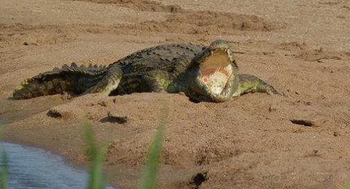 Da papà Godzilla e mamma Ruby, i primi coccodrilli del Nilo italiani