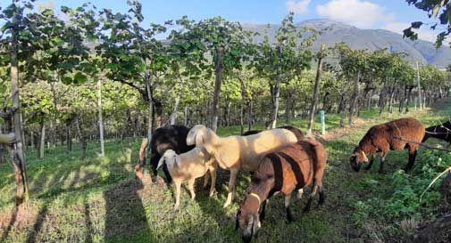 Basta glifosate, per togliere l'erba dai vigneti arrivano le pecore