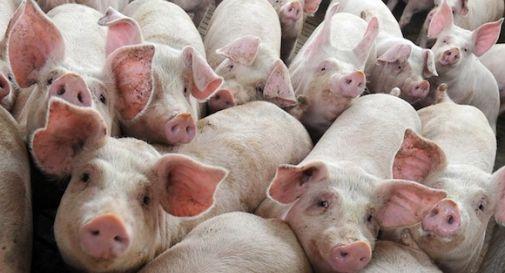 Crisi nera per gli allevatori trevigiani: prezzi della carne di maiale in caduta, aumentano i costi di produzione