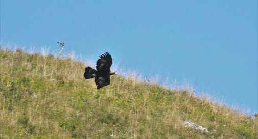 Aquila reale in caccia - foto Guglielmi