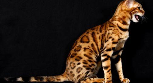 Gatto o leopardo?