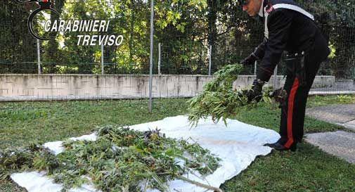 Susegana, avevano una vera e propria piantagione di marijuana sul greto del Piave
