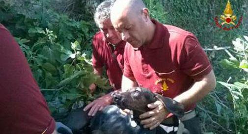 Vicenza: vigili fuoco salvano cane finito in una vasca d'acqua