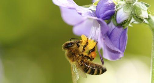 Niente pesticidi sul Montello durante la fioritura delle robinie. Obiettivo: salvare le api.