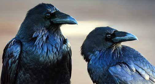 Dodicimila gazze e corvi da uccidere. In tre anni