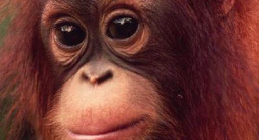 Sentenza storica: Tribunale riconosce diritti di persona non umana ad orango