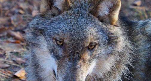 Il lupo spaventa la Marca Trevigiana