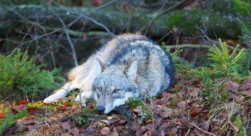 Dopo 100 anni, torna il lupo in Cansiglio: ecco il primo ululato registrato dai naturalisti