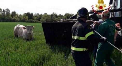 Toro fugge dall'azienda agricola