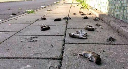Topi morti nel vittoriese: potrebbe essere un suicidio di massa